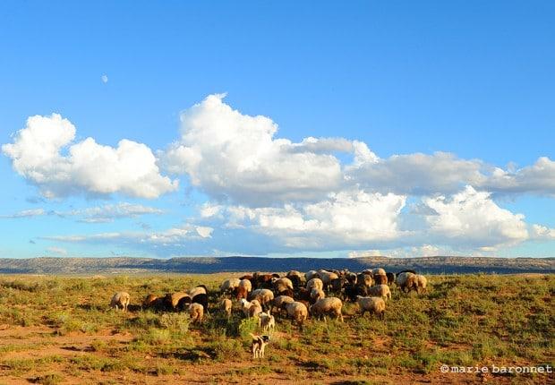 Shonto Arizona 2013. Navajo sheep herd